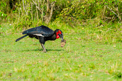 Southern Ground Hornbill, Bucorvus leadbeateri