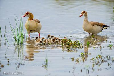 Egyptian Goose family, Alopochen aegyptiaca