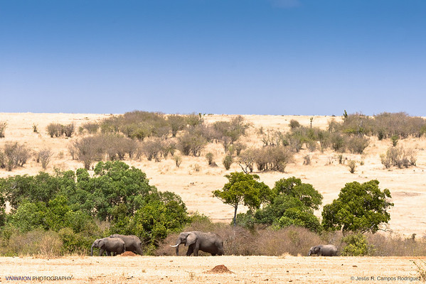 A very large herd of elephants was in  the distance, in an area right on the border between Kenya and Tanzania. They were travelling forming a perfect row, and It was a long time until the last of them passed by.