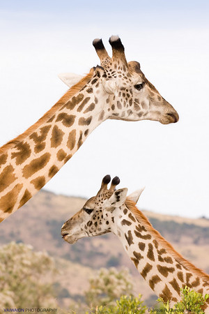 'Giraffe diagonals'