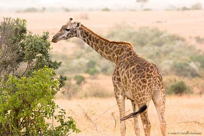 Giraffe (3)