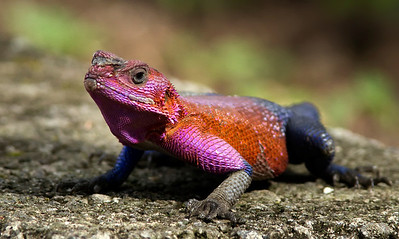 Agama lizard in Serengeti