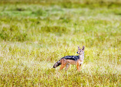 Jackal on the Ndutu plains
