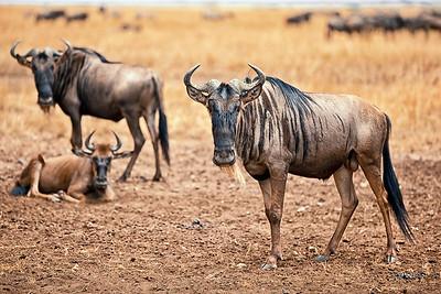 Wildebeest in southern Serengeti/Ndutu