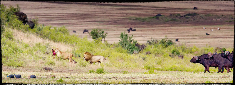 Buffalo chasing away lions.  Awesome scene at Ngorongoro Crater.