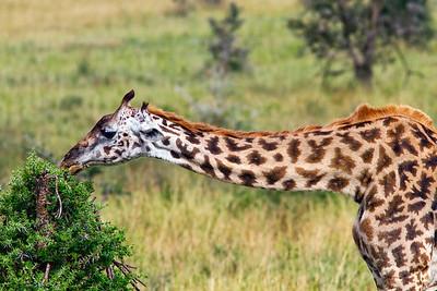 Giraffe at Serengeti Conservation area