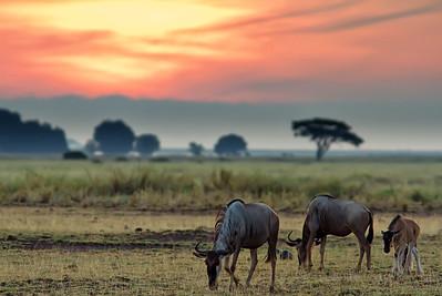Amboseli sunrise with wildebeests