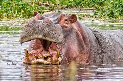 Hippo in Serengeti