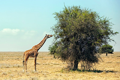 giraffe on Ndutu plains