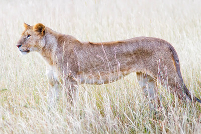 backlit lioness in Masai Mara