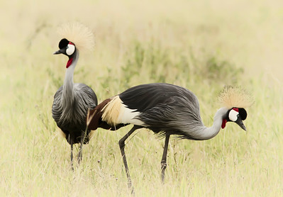 Crowned cranes in Serengeti