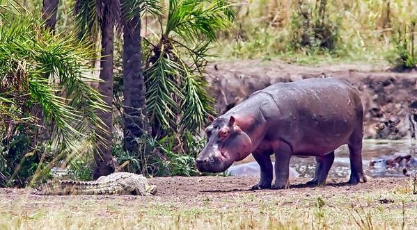 Hippo staring down crocodile at an Ndutu watering hole
