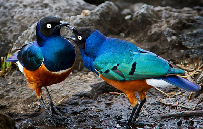 Superb starlings in Serengeti