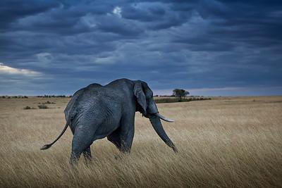 Elephant on Mara