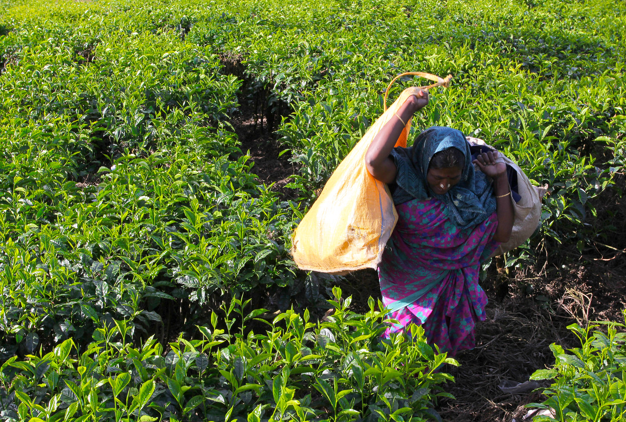 Tea Estate - Kerala