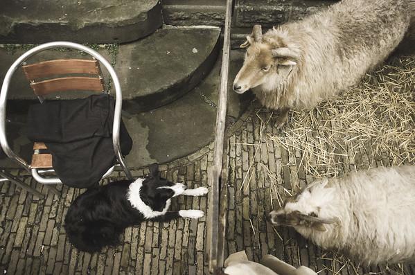 Hond Met Schaap : A Love Story