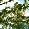 Hankerchief Tree - Kew Gardens