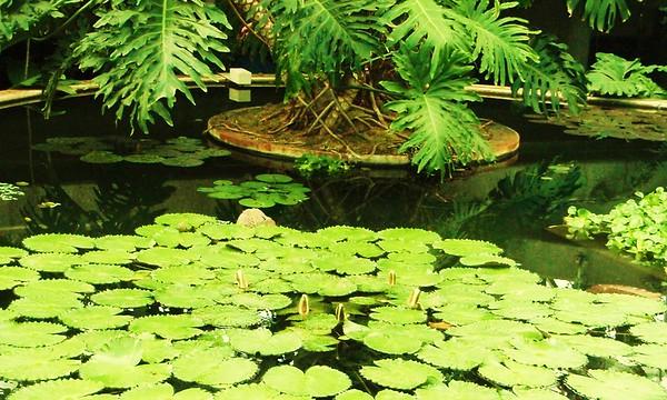 Kew Lily Pad Pond