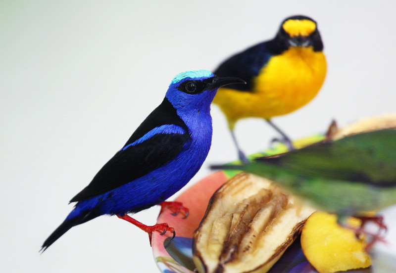Red Legged Honey Creeper in the foreground; Euphonia in background