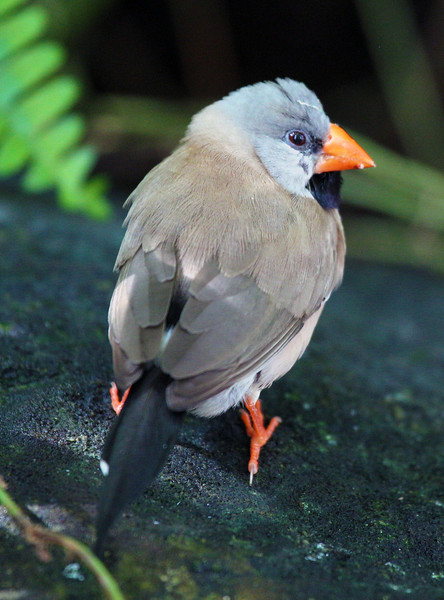 Now we're in Key West's Butterfly Conservancy.  This is a Shaft Tail Finch