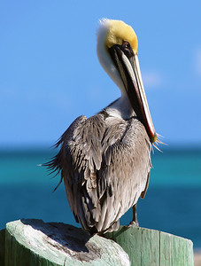 A pelican on a marina pier