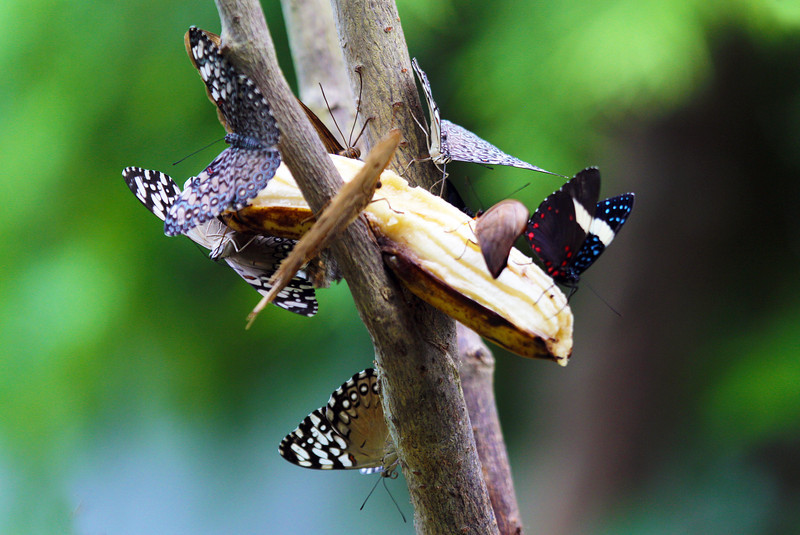 Eight butterflies dining off a banana