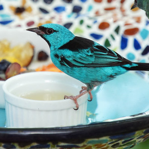 Turquoise Honeycreeper Perhaps