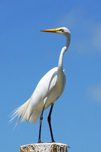 Islamorada Egret at Hungry Tarpon