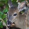 Key Deer, Big Pine Florida