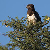 Black-chested Snake Eagle (Kgalagadi)