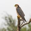 Lanner Falcon (Kgalagadi)