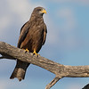 Yellow-billed Kite (Kgalagadi)