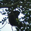 Gibbon....can you see it/