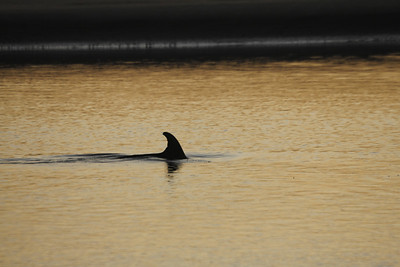 dolphin at dusk - they come into a lagoon because the fish get trapped there