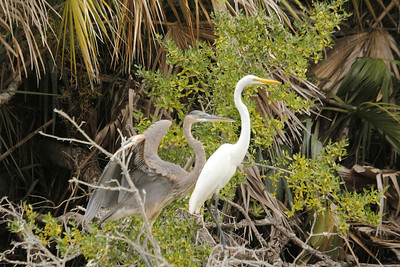 Blue Heron & Great Egret