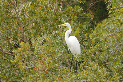 Great Egret -  has yellow bill and black legs - Kiawah Island, SC