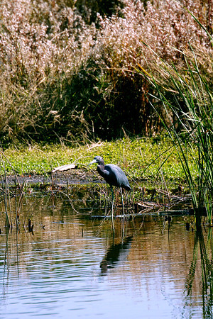 Lilttle Blue Heron - this is a different species