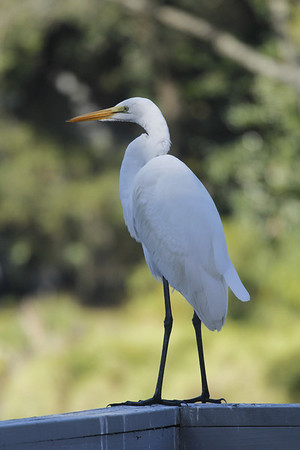 Great White Egret (black legs and feet)