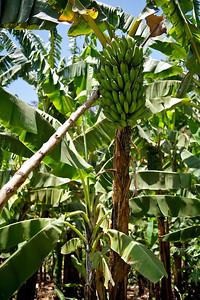 Bananas, Tanzania.