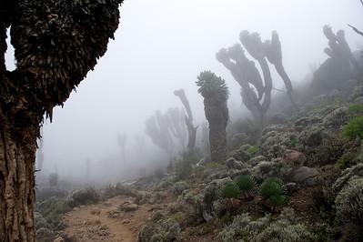 Day 4. Lemosho route on the way to Baranco camp (3976m) via the lava tower (4630m). Garden of the Senecios.