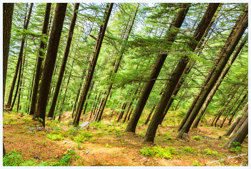 Deodar forest. Near Bahu.