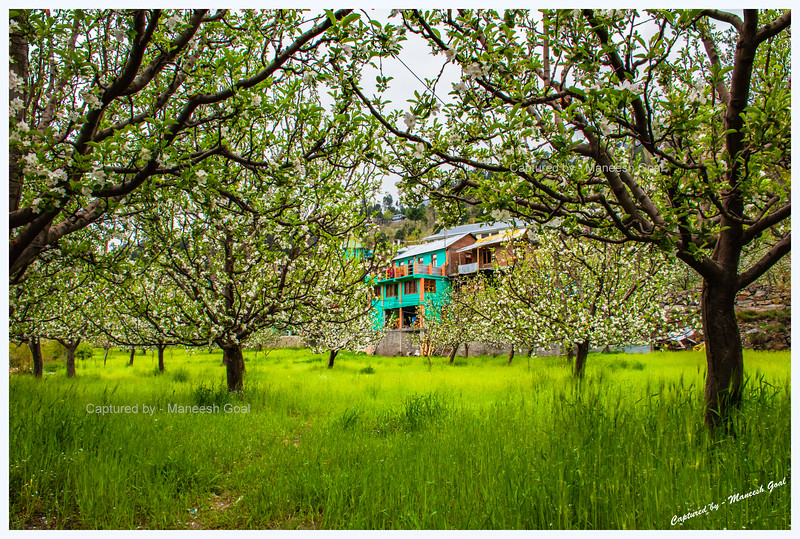 An apple orchard in Kothi village.