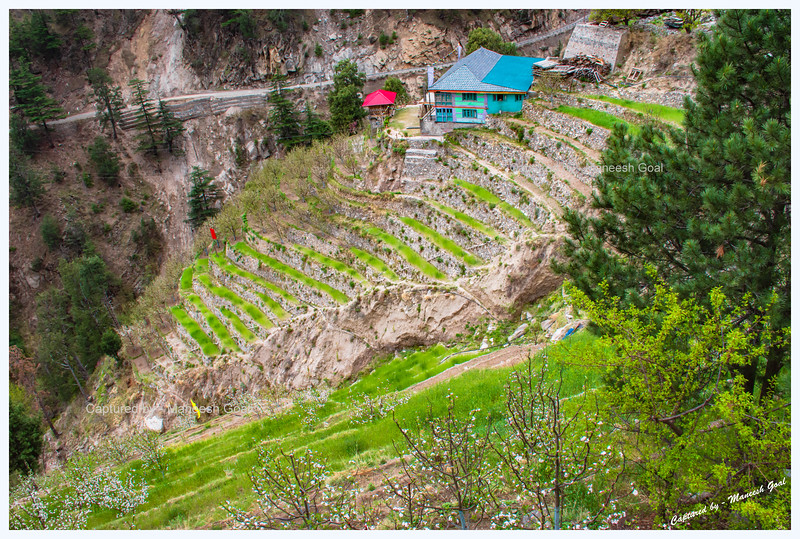 Traditional Himachali house with orchards around it. Pangi village.
