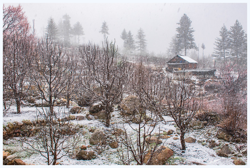 A while later it began to snow. Plum & apple orchard in Rakcham.