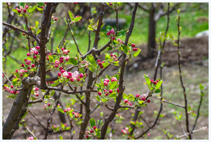 Apple blossoms. Batseri