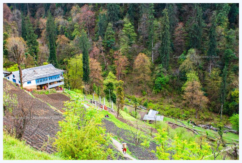 Traditional Himachali house surrounded by colourful trees on Shoja-Jibhi route