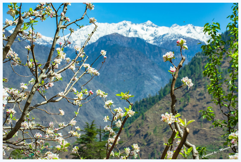 Apple blossoms on Sharchi Road. Dhauladhar Range in the background.