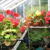 Greenhouse flowers at Shapinsay Island in Scotland, United Kingdom.