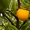 Orange still on the tree