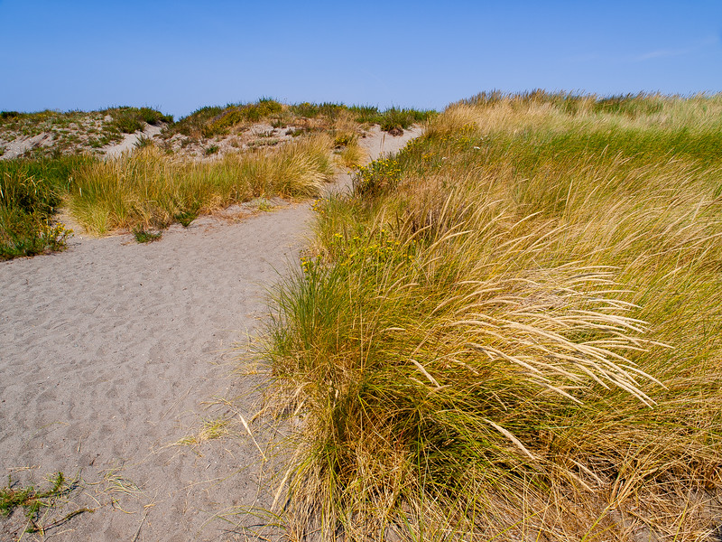 Dune Grass near the beach on the point of land north of Port Townsend